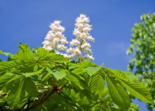 Bach flower remedy white chestnut dr bach tells us that white chestnut is indicated by obsessive and worrying thoughts these thoughts seem impossible to control mightylinksfo